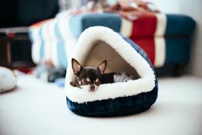 犬用のベッドで寝るチワワ