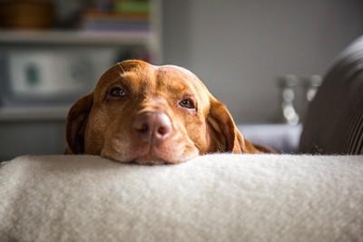ソファの背もたれに顔だけを乗せている茶色い犬