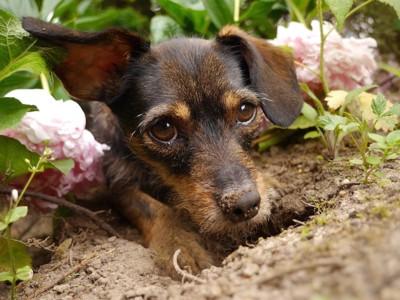 穴掘りをして土で遊ぶ犬