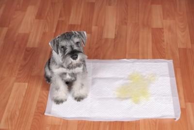 トイレシートにおしっこをしてこちらを見つめる犬