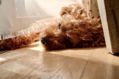 日向ぼっこする犬