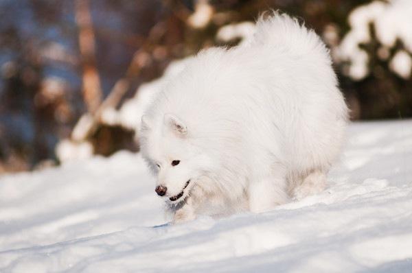 雪で遊ぶアメリカンエスキモードッグ
