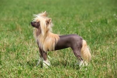 芝生の上に立っているチャイニーズクレステッドドッグ