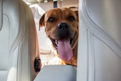 車の中 舌を出す犬