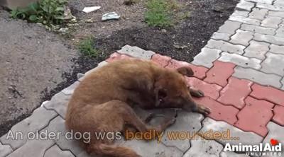 負傷した老犬