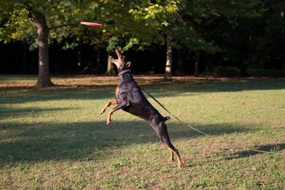 フリスビーで遊ぶ犬