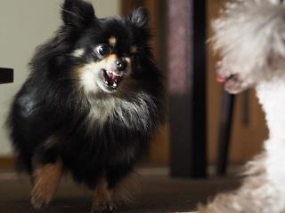 黒チワワが歯をむき出して威嚇している写真
