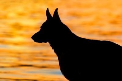 夕焼けの中の犬