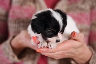 ブリーダーの手の上で大人しくしているパピヨンの子犬