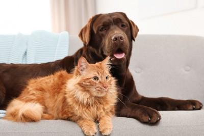 ソファーの上のラブラドールと猫