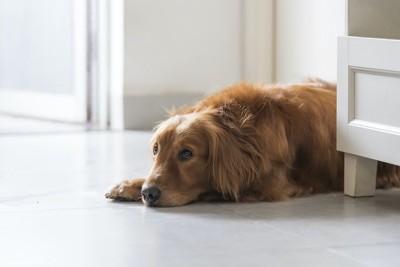 つまらなそうに床に伏せている犬