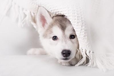 白いブランケットを被ったハスキーの子犬