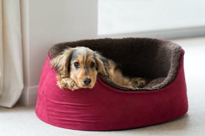 赤と茶の犬用ベッドに入っているイングリッシュコッカー