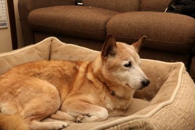 ベッドで寛ぐ老犬
