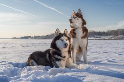 雪の風景とハスキー