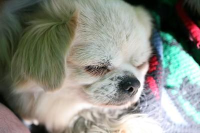 布団で眠るシニアの犬