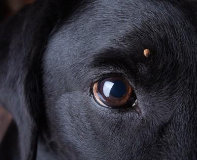 黒い犬の瞳アップ