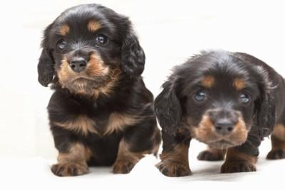 ミニチュアダックスの子犬たち