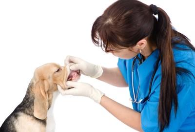 獣医師に歯をチェックされるビーグル犬
