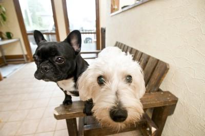 一緒に椅子に乗って並ぶ2匹の犬