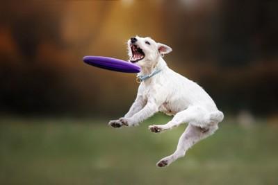 ジャンプしながら飛んできたフリスビーを取ろうとしている犬