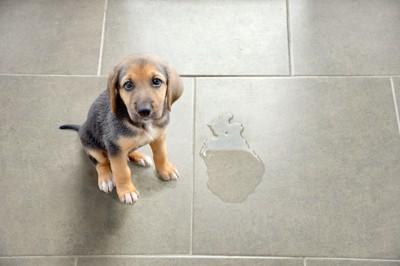 床にオシッコをした子犬