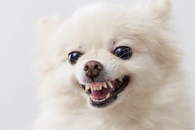 歯をむき出して怒る犬