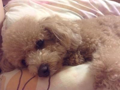 愛犬がかわいい姿で横になっている様子