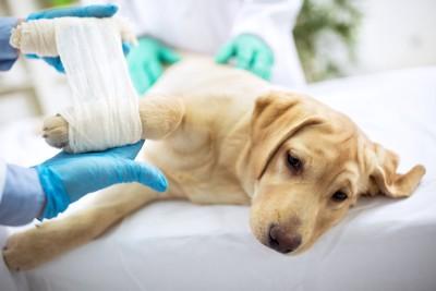 包帯を巻かれる悲しい顔の子犬