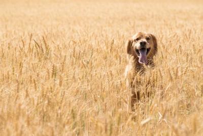 小麦畑にいる犬