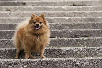階段とポメラニアン