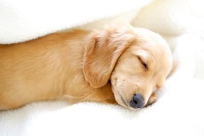 横になって寝ているゴールデンレトリバーの子犬