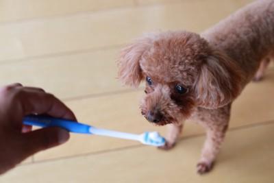 歯ブラシを見つめる犬