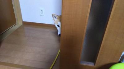 ドアから覗く柴犬