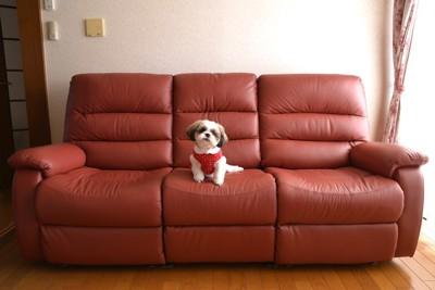 赤いソファに座る犬