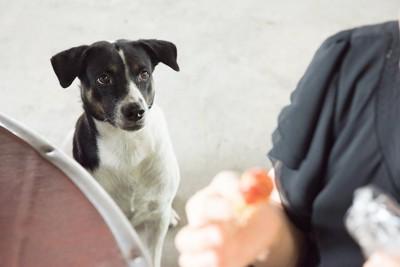 食べ物を持つ飼い主さんを見つめる犬