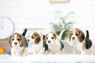 4匹のビーグルの幼犬