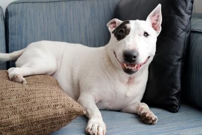 ソファーで寛ぐ犬