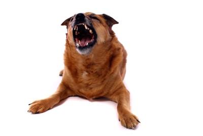 激しく吠える茶色の犬