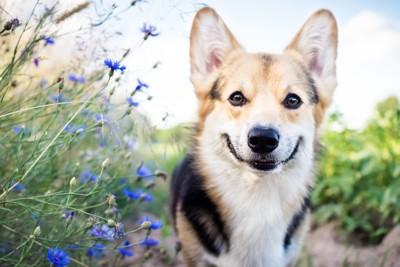 青い花の横でこちらを見つめている犬