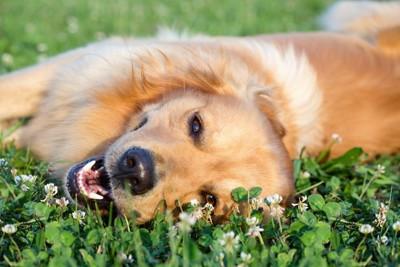 楽しそうに草原に横たわる犬