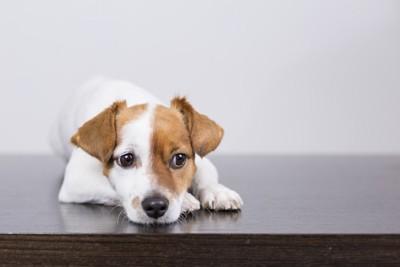 つまらなさそうな表情をした子犬