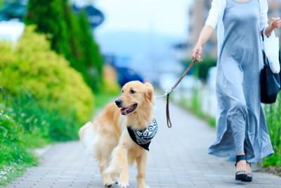 散歩中のゴールデンレトリーバー