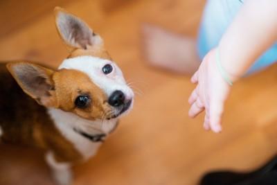 茶色と白の犬と子供の手