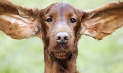 大きな垂れ耳を広げた犬