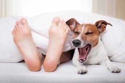 飼い主の足とあくびをするジャック・ラッセル・テリア