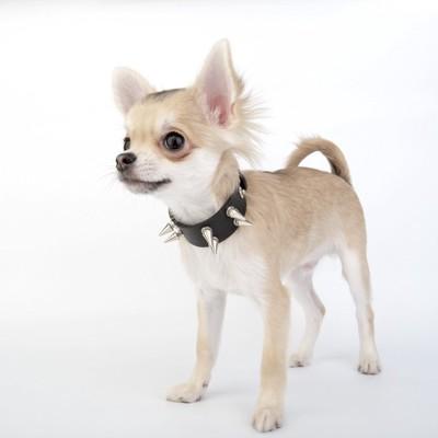 おしゃれな首輪の小型犬