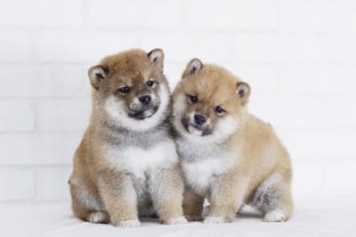 柴犬の子犬たち