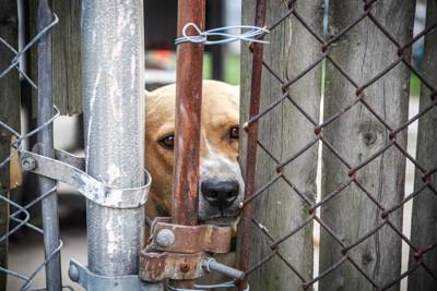 フェンスの向こう側の犬