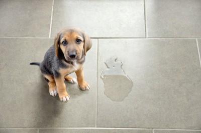 床におしっこをしてしまった子犬
